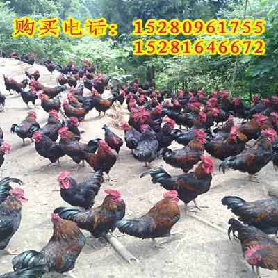 黑人巨大黑鸡下载