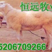 供应青山羊白山羊肉羊波尔山羊杂交羊批发