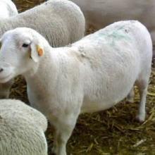 供应小尾寒羊养殖场,小尾寒羊批发价格,山东小尾寒羊供应商图片