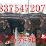 供应西门塔尔牛价格,西门塔尔牛批发,山东西门塔尔牛供应商