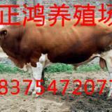 供应黑龙江哪里有西门塔尔牛养殖场
