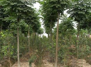 供应5公分栾树价格图片