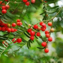 供应红豆杉繁殖技术