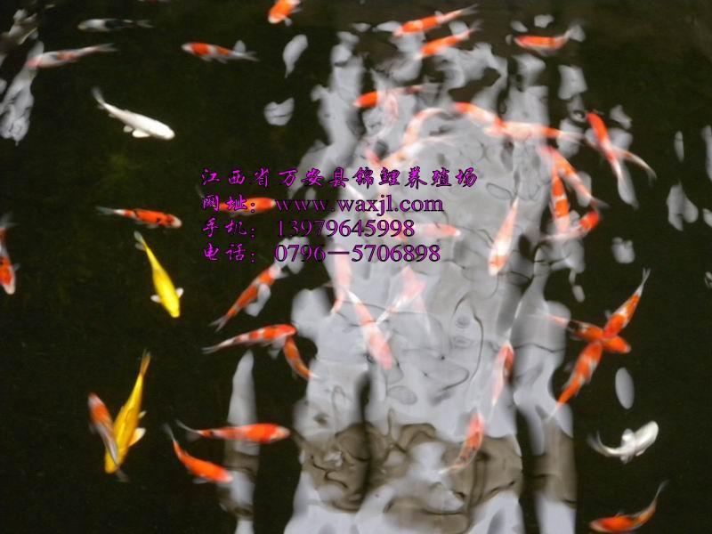 供应锦鲤种鱼/锦鲤种鱼/锦鲤种鱼