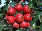 供应大金星山楂树/大五棱山楂树/红棉球山楂树