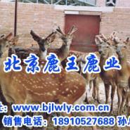 2012年广西梅花鹿养殖视频图片