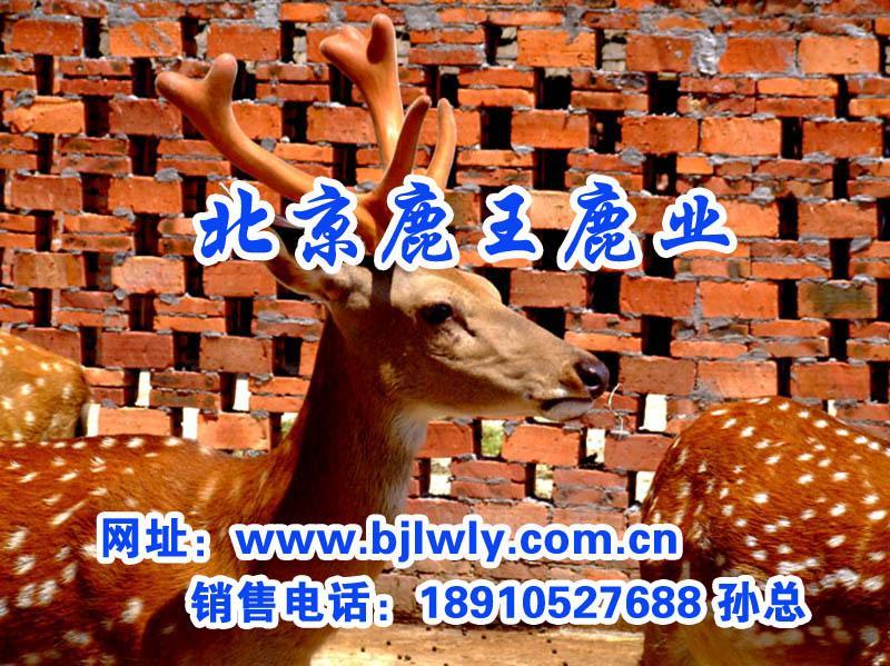 供应一只梅花鹿种鹿的价格/梅花鹿鹿肉
