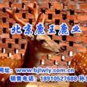 供应母鹿分娩后1~2个月注意梅花鹿营养要跟上,梅花鹿鹿胎膏价格母