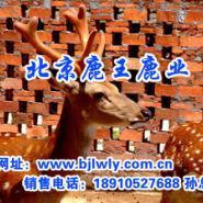 梅花鹿2011梅花鹿养殖前景图片