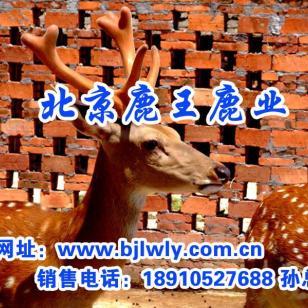 陕西省千阳县梅花鹿养殖成本图片