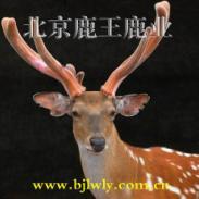 2011年双阳养鹿业发展前景广阔图片