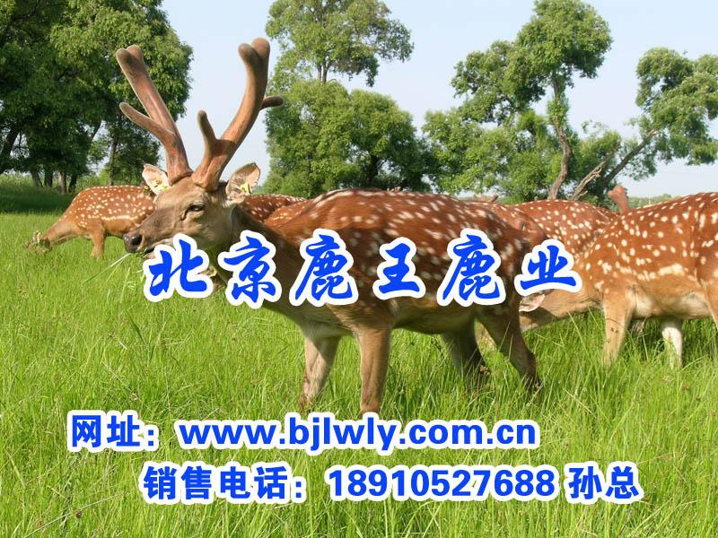 供应大麦/梅花鹿养殖技术/鹿肝/鹿肉