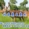 供应2012年安徽微凤台梅花鹿