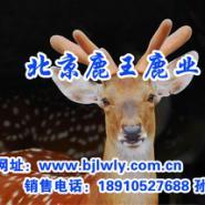 2012年广东梅花鹿养殖技术视频图片