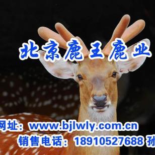 梅花鹿母鹿饲养与管理方法图片