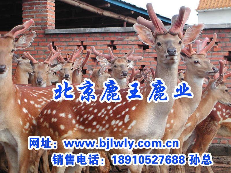供应北京顺义区双阳梅花鹿养殖场/鹿肉
