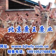 梅花鹿鹿产品信息图片
