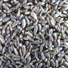绿小麦种批发