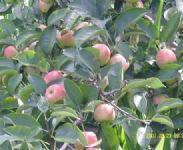 大量批发123苹果苗图片