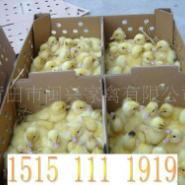 贵州肉鸭苗价格贵州最新鸭苗价格图片