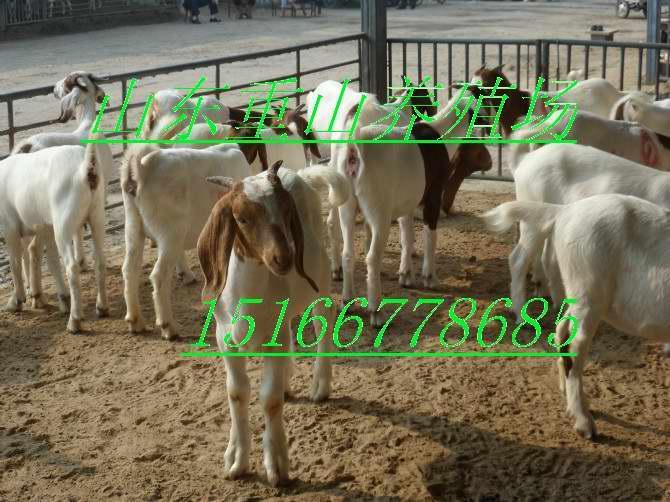 供应波尔山羊 波尔山羊养殖 波尔山羊价格 山东波尔山羊