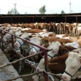 供应最新西门塔尔肉牛价格