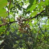 供应省沽油科银鹊树属银鹊树种子