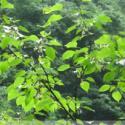 昆栏树科领春木属领春木种子图片