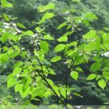 供应昆栏树科领春木属领春木种子