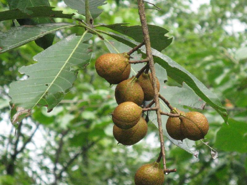 供应七叶树种子