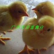 鸡苗供应商图片