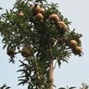 山西石榴树苗图片