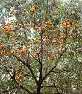 山西占地柿子树行情图片