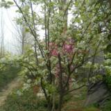 供应山东果树银杏树