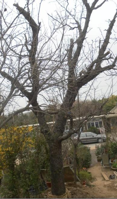 供应江苏枣树大量供应;江苏枣树价格;江苏枣树批发