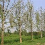 供应银杏树2011年11月价格最新价