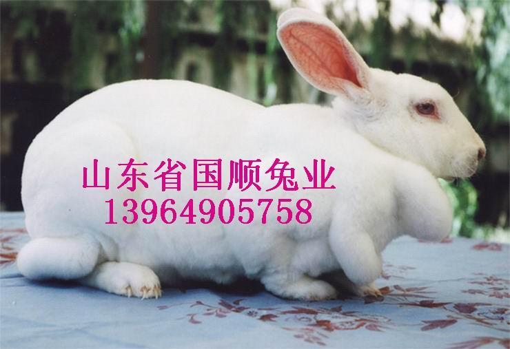 供应獭兔管理獭兔品种