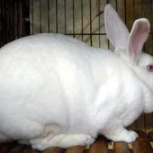 供应肉兔种兔价格