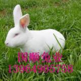 供应专业养殖比利时兔牧场