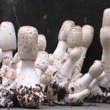 供应滨州鸡腿菇菌种