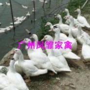 优质白番鸭苗图片