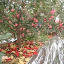 供应苹果上色专用反光膜价格批发