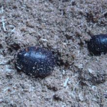 供应邯郸土元养殖碳水化合物的作用土元养殖土元供应土元批发