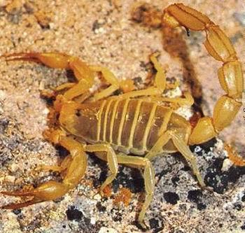 供应蝎子的动物特性山东蝎子