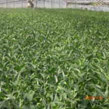 供应百合鲜切花以及鲜花种球批发
