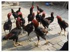 娱乐型斗鸡