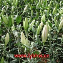 供应出售郁金香百合剑兰种球鲜切花 出售凌源郁金香百合剑兰种球鲜切花图片
