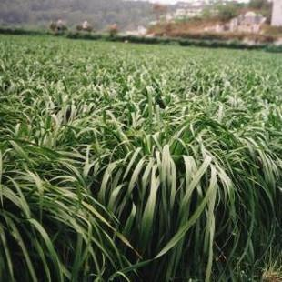 多年生黑麦草种子图片/多年生黑麦草种子样板图 (4)