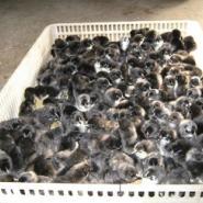 出售江西优质纯种绿壳蛋鸡苗图片