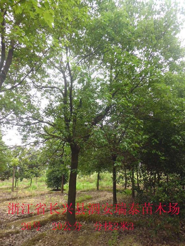 供应江西香樟树报价-江西香樟树批发-江西香樟树优质品种